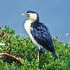 11001-34316  Little shag, or kawaupaka (Phalacrocorax melanoleucos brevirostris) adult in trees. Green Island *