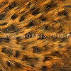 11001-49209 Buff weka (Gallirallus australis hectori) detail of plumage