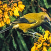 11001-83803  Bellbird (Anthornis melanura melanura) male perched amongst kowhai (Sophora microphylla) flowers. Otago Peninsula *