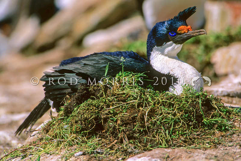 11001-35902 Macquarie Island shag (Leucocarbo purpurascens) female incubating on nest *
