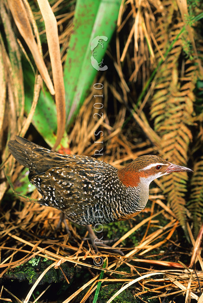 11001-47703 Banded rail (Gallirallus philippensis assimilis) male in wetland. Whangateau *