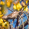 11001-86214 House sparrow (Passer domesticus domesticus) female stealing nectar from kowhai flowers. The most well known of all our introduced birds, this commensal species benefits from our buildings and our agriculture without affecting us substantially. Dunedin *
