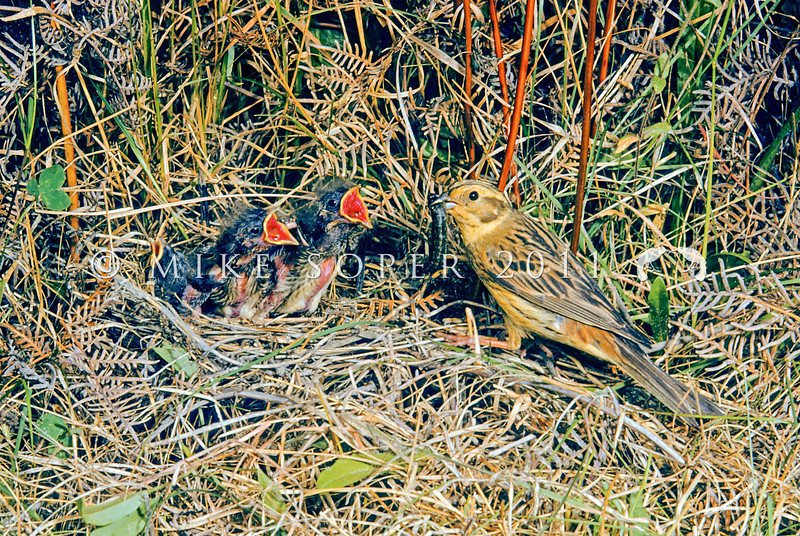 11001-84923  Yellowhammer (Emberiza citrinella) portrait of male with food at nest in bracken. Yelllowhammers are more abundant here, than in parts of Europe, where they are now in serious decline. *