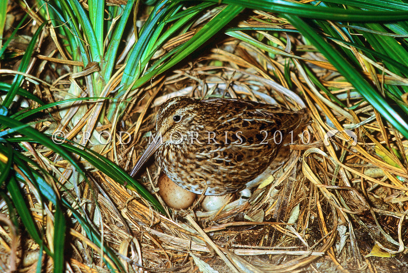 11001-57911 Chatham Island snipe (Coenocorypha pusilla) adult incubating eggs on nest in carex clump. Mangere Island, Chathams Group *