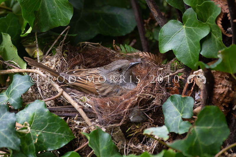 DSC_5889 Dunnock or Hedge sparrow (Prunella modularis) female incubating eggs in a nest in common ivy (Hedera helix). This inconspicuous little introduced bird is common in gardens in the South Island, but in the North Island, it is rare north of the Waikato. Otago Peninsula *