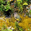 11001-77903  Rock wren (Xenicus gilviventris) male outside nest hole in bank beneath Scarlet snowberry (Gaultheria crassa) January, 1978 Tutoko High Bench, Fiordland