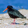 11001-53015 Variable oystercatcher (Haematopus unicolor) adult on shoreline, Bowentown Beach *