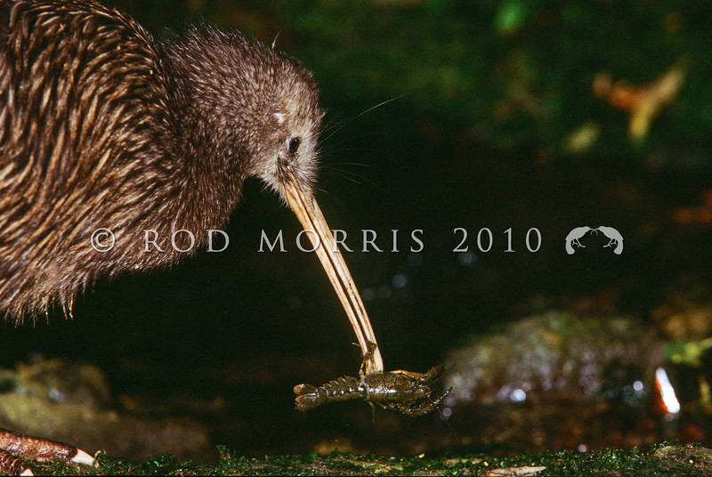 11001-01910 Eastern brown kiwi (Apteryx mantelli) catching freshwater crayfish *