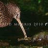 11001-01910 North Island brown kiwi (Apteryx mantelli) catching freshwater crayfish