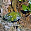 11001-77515  South Island rifleman (Acantisitta chloris chloris) adult male at nest hole beside Red mistletoe (Peraxilla tetrapetala)