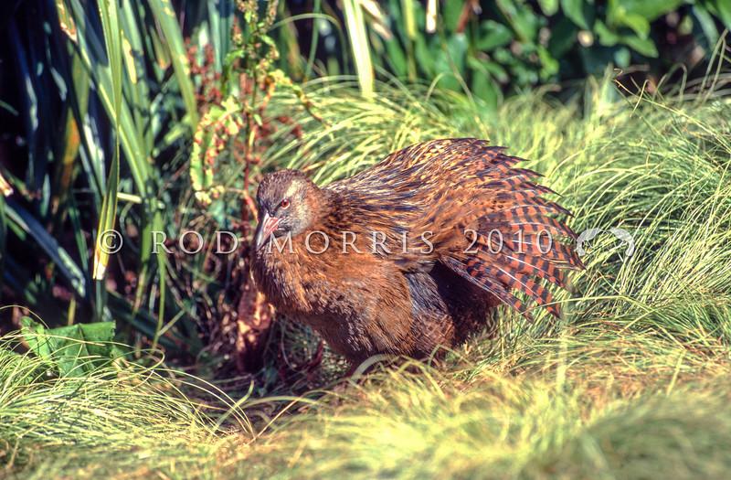 11001-48910 Western weka (Gallirallus australis australis) typical 'chestnut' morph, sunning itself after rain. Haast, Westland *