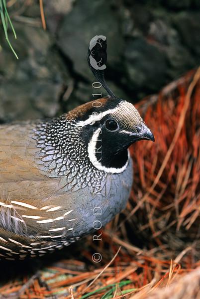 11001-46613 California quail (Callipepla californica californica) male in pine forest