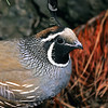 11001-46613 California quail (Callipepla californica californica) male in pine forest *