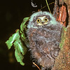 11001-75909 Morepork (Ninox novaeseelandiae novaeseelandiae) fledgling waiting for food outside nest entrance in hollow tree