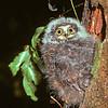 11001-75909 Morepork (Ninox novaeseelandiae novaeseelandiae) fledgling waiting for food outside nest entrance in hollow tree