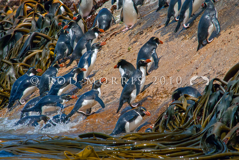 DSC_0302 Snares crested penguin (Eudyptes robustus) view of birds coming ashore at the base of the spectacular 'penguin slide' landing slope, Snares Island *