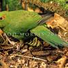 11001-73507 Red-crowned parakeet (Cyanoramphus novaezelandiae novaezelandiae) male foraging on forest floor