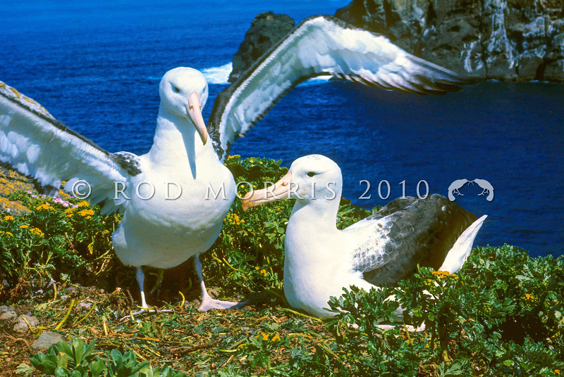 11001-08001 Northern Royal albatross (Diomedea sanfordi) pair at nest on Middle Sister Island, Chathams. November 1993