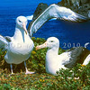 11001-08001 Northern Royal albatross (Diomedea sanfordi) pair at nest on Middle Sister Island, Chathams. November 1993