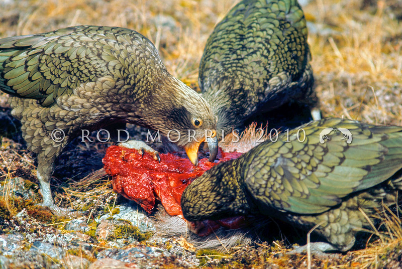 11001-71802 Kea or mountain parrot (Nestor notabilis) young birds scavenging on deer carcass. Murchison Mountains, Fiordland *