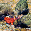 11001-71802 Kea or mountain parrot (Nestor notabilis) young birds scavenging on deer carcass