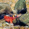 11001-71802 Kea or mountain parrot (Nestor notabilis) young birds scavenging on deer carcass. Murchison Mountains, Fiordland *