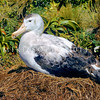 11001-06901 Gibson's albatross (Diomedea antipodensis gibsoni) female on nest on Adams Island. This species is a member of the 'wandering albatross' complex, and breeds only at the Auckland Islands *