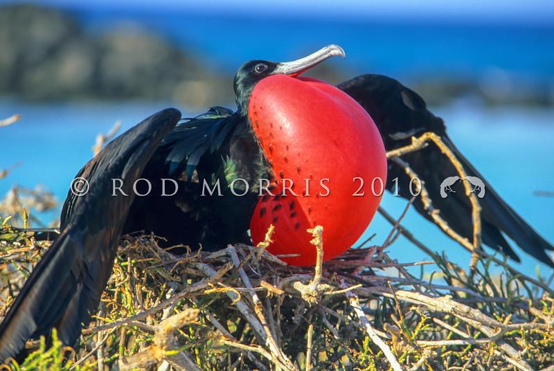 11001-36003 Greater frigatebird (Frigata minor palmerstoni) displaying at nest *