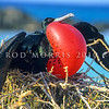 11001-36003 Greater frigatebird (Frigata minor palmerstoni) displaying at nest
