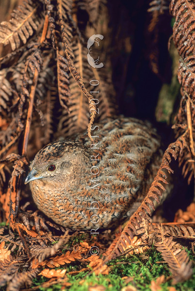11001-47201 Australian brown quail (Coturnix ypsilophora australis) male roosting