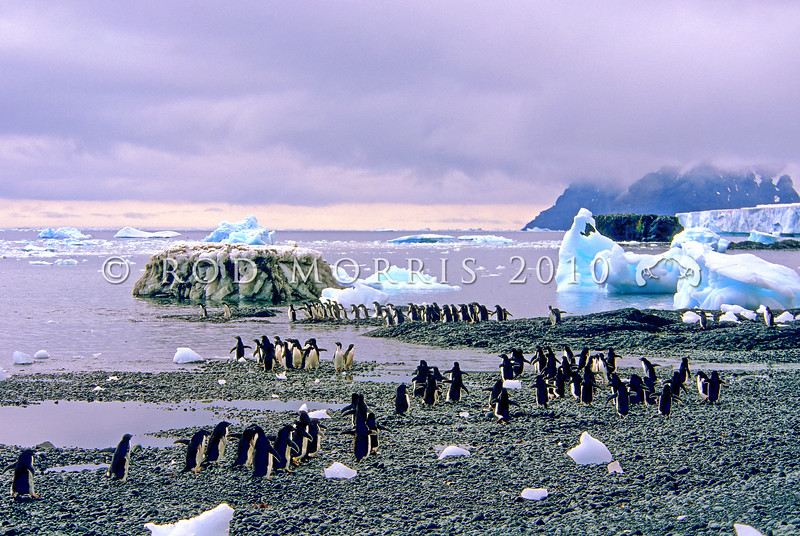 11001-26416 Adelie penguin (Pygocelis adeliae) a circumpolar breeder from the Ross Sea region of Antarctica