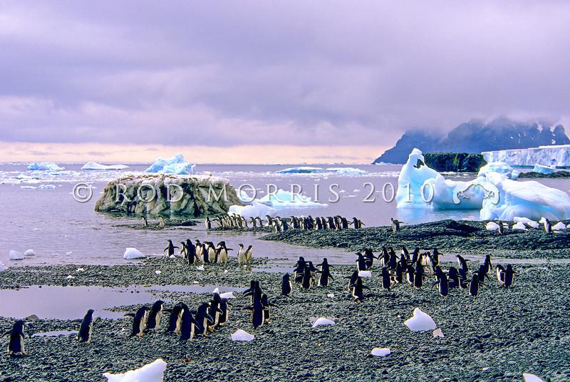 11001-26416 Adelie penguin (Pygocelis adeliae) a circumpolar breeder from the Ross Sea region of Antarctica *