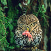 11001-76605  Little owl (Athene noctua) with young mouse. Widespread in eastern South Island *