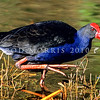 11001-50710  Pukeko (Porphyrio melanotus melanotus) adult wading at waters edge. Western springs, Auckland *