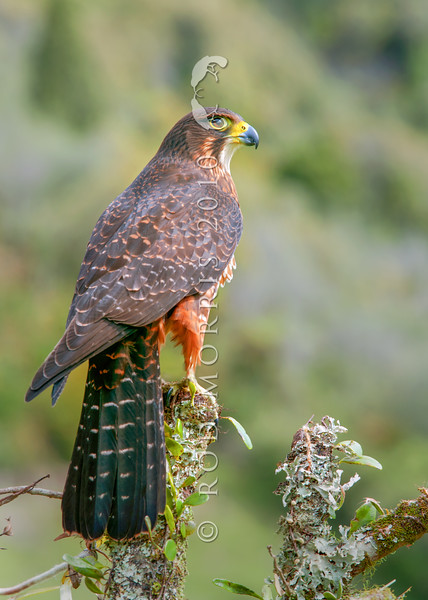 DSC_4217 New Zealand falcon (Falco novaeseelandiae) adult female 'bush' falcon from the North Island, Rotorua