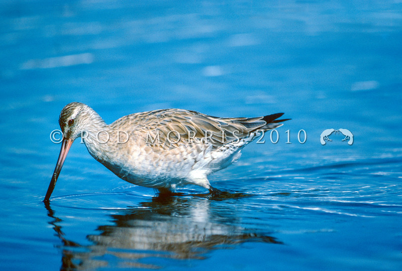 11001-60619 Bar-tailed godwit (Limosa lapponica baueri) wading for food. Access Bay *
