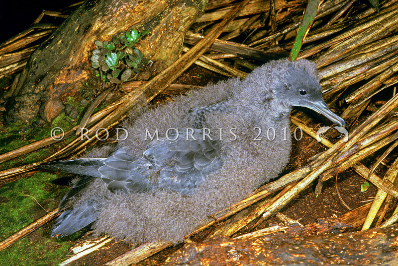 11001-13515 Sooty shearwater, titi or muttonbird (Ardenna grisea) large chick outside burrow after dark. Big South Cape Island *