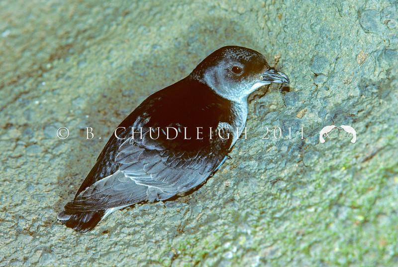 11001-15803 Southern diving petrel (Pelecanoides urinatrix chathamensis) adult on bank at night. South East Island