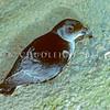 11001-15803 Southern diving petrel (Pelecanoides urinatrix chathamensis) adult on bank at night. South East Island *
