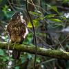 DSC_4811 New Zealand falcon (Falco novaeseelandiae) juvenile 'bush' falcon roosting on fallen branch in forest. Wellington *