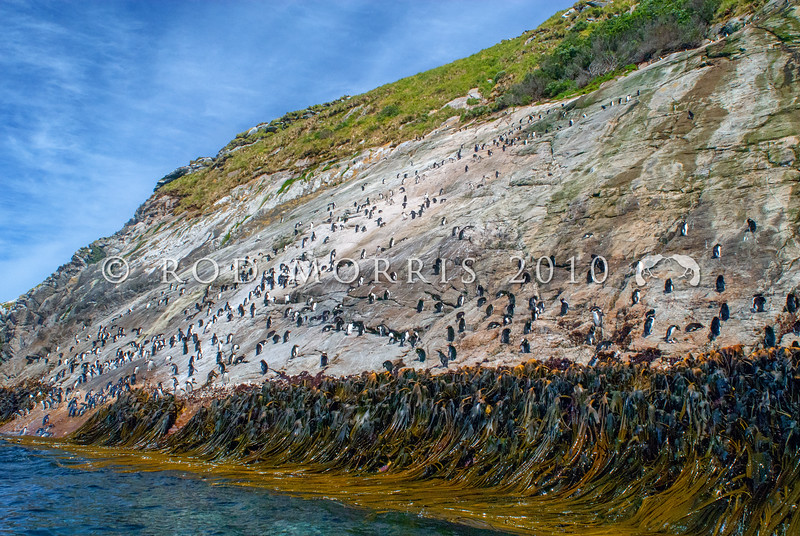 DSC_0283 Snares crested penguin (Eudyptes robustus) view of birds coming ashore and standing about at the base of the spectacular 'penguin slide' landing slope, Snares Island