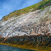 DSC_0283 Snares crested penguin (Eudyptes robustus) view of birds coming ashore and standing about at the base of the spectacular 'penguin slide' landing slope, Snares Island *