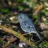 11001-81802 North Island robin, or toutouwai (Petroica longipes) male on branch on forest floor. Endemic and restricted to native, and older exotic forests of the central region of the North Island, as well as Little Barrier, Kapiti and the islands of the Bay of Plenty. Introduced on to Tiritiri Matangi Island and Wenderholm Reserve. Mokoia Island *