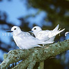 11801-68902  White tern (Gygis alba candida) pair 'apparently' perched on a branch in a Norfolk pine, although in fact the nearer bird is incubating a single egg - which is characteristically laid on a bare branch