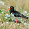 11001-52910  South Island pied oystercatcher (Haematopus finschi) adult in pasture beside the Shotover River *