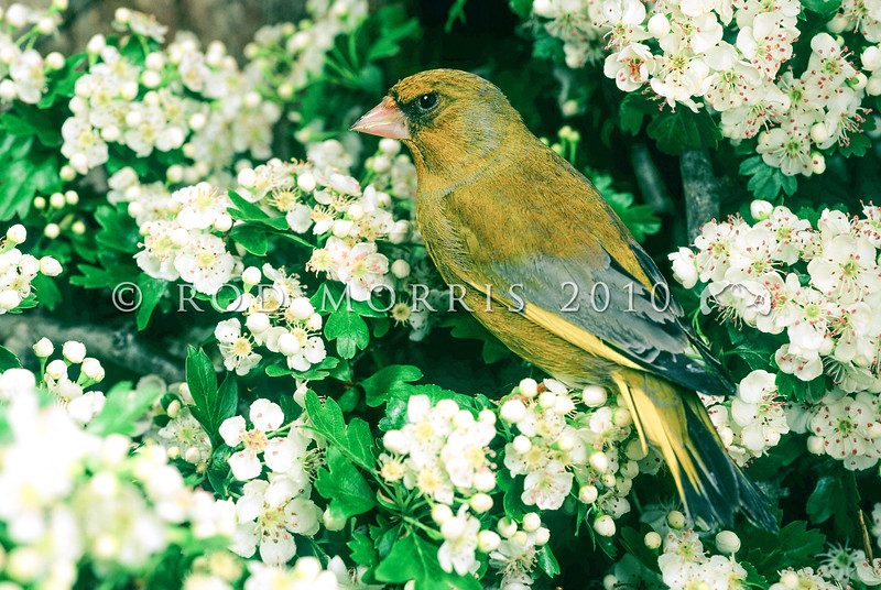 11001-85515  European greenfinch (Carduelis chloris) male in flowering hawthorn hedgerow. One of the commonest birds in the New Zealand countryside. Otago Peninsula.