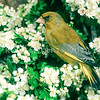 11001-85515  European greenfinch (Carduelis chloris) male in flowering hawthorn hedgerow. One of the commonest birds in the New Zealand countryside. Otago Peninsula *