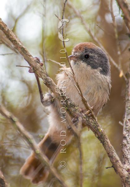 DSC_8227 Brown creeper (Mohoua novaeseelandiae) male in kanuka. Otago Peninsula *