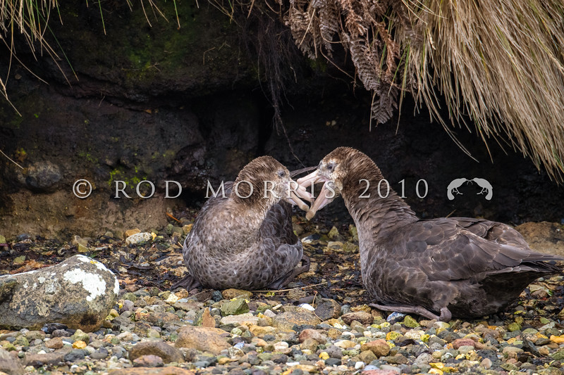 DSC_2550 Northern Giant petrel (Macronectes halli) pair resting on beach in Garden Cove. Perseverance Harbour, Campbell Island *