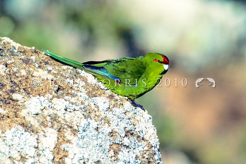 11001-73903 Chatham Island Red-crowned parakeet (Cyanoramphus novaezelandiae chathamensis) female near coast on South East Island *